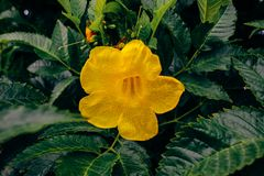 喇叭藤的黄色花 免版税库存照片