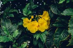 喇叭藤的黄色花 免版税库存图片