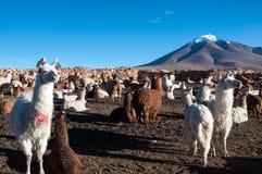 喇嘛在玻利维亚 免版税库存照片