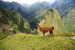 喇嘛在Macchu Picchu,秘鲁,南美 免版税库存照片