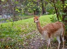 喇嘛走的动物园公园维也纳 免版税库存照片
