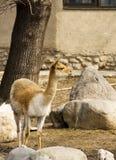 喇嘛骆马之类 库存照片