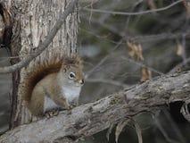 喋喋不休从安全距离的北红松鼠 免版税库存照片