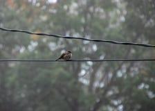 喘气的母麻雀在fogg的电话电汇栖息 免版税库存照片