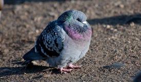 喘气的鸽子 库存照片