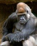 喜怒无常的大猩猩 免版税库存图片