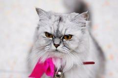 喜怒无常的波斯猫 免版税库存照片