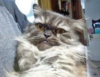 喜怒无常的波斯猫 库存照片