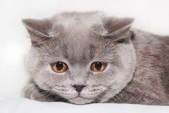 喜怒无常的猫 图库摄影