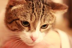 喜怒无常的猫 免版税库存图片