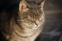 喜悦的街道猫坐的斜眼看在日落 免版税库存照片