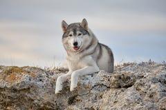 喜欢与一名美丽的灰色西伯利亚爱斯基摩人在岩石illu说谎 图库摄影