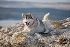喜欢与一名美丽的灰色西伯利亚爱斯基摩人在岩石illu说谎 库存图片