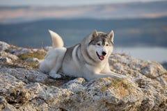 喜欢与一名美丽的灰色西伯利亚爱斯基摩人在落日的光芒照亮的岩石说谎 在一自然backgro的一条狗 免版税库存照片