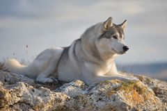 喜欢与一名美丽的灰色西伯利亚爱斯基摩人在落日的光芒照亮的岩石说谎 在一自然backgro的一条狗 免版税库存图片