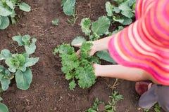 喜欢年轻无头甘蓝和圆白菜植物的农夫 库存照片