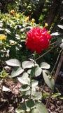 喜爱玫瑰色花 免版税图库摄影
