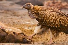 喜马拉雅兀鹫,欺骗himalayensis,潘纳老虎储备,拉贾斯坦 库存图片
