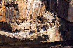 喜马拉雅兀鹫,欺骗himalayensis,潘纳老虎储备,拉贾斯坦 库存照片