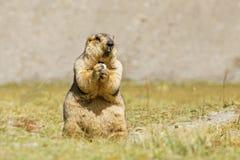 喜马拉雅土拨鼠吃 免版税图库摄影