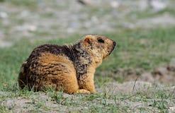 喜马拉雅土拨鼠 免版税库存图片