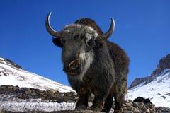 喜马拉雅山冬天牦牛 图库摄影