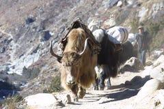 喜马拉雅山尼泊尔牦牛 图库摄影