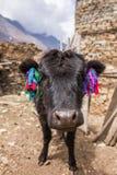 从喜马拉雅山村庄的滑稽的黑长毛的母牛画象 库存照片