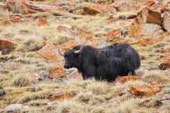 喜马拉雅山牦牛 库存照片