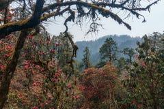 喜马拉雅山,尼泊尔 开花的杜鹃花 图库摄影