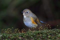 喜马拉雅泰国的Bluetail Tarsiger rufilatus母逗人喜爱的鸟 免版税库存图片