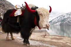 喜马拉雅牦牛 库存图片
