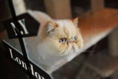 喜马拉雅猫 免版税库存照片