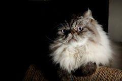 喜马拉雅猫 库存图片