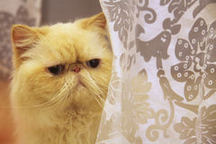 喜马拉雅猫 免版税图库摄影