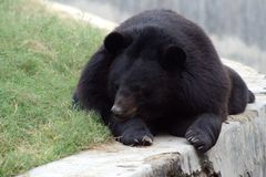 喜马拉雅的熊 免版税库存图片