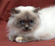 喜马拉雅的猫 免版税库存照片