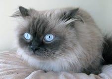 喜马拉雅的猫 免版税图库摄影