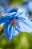 喜马拉雅蓝色鸦片(Meconopsis) 库存照片