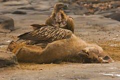 喜马拉雅雕,哺养在水鹿,潘纳老虎储备,中央邦,印度的欺骗himalayensis 免版税图库摄影