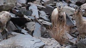 喜马拉雅高地山羊战斗 影视素材
