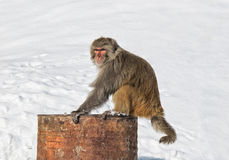 喜马拉雅猴子坐生锈的桶 免版税图库摄影