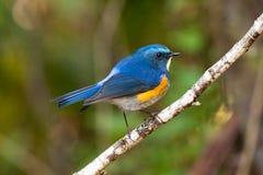喜马拉雅Bluetail或喜马拉雅红被侧的布什知更鸟(沥青 免版税库存照片