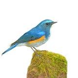 喜马拉雅Bluetail 免版税库存图片