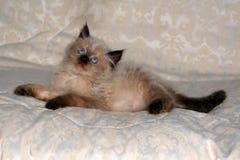 喜马拉雅iv小猫 免版税库存照片