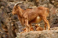 喜马拉雅tahr在岩石山栖所 与小的年轻人的喜马拉雅tahr 与小狗的喜马拉雅tahr在石山 Himala 免版税图库摄影