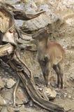 喜马拉雅tahr 库存图片
