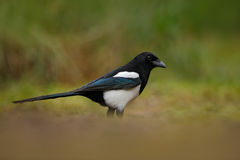 喜鹊或共同的鹊, 12点活字12点活字,与长尾巴的黑白鸟,在自然栖所,清楚的背景,德国 免版税库存图片