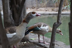 喝一个小的湖的水的鸭子 库存图片