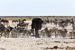 喝与斑马和羚羊一起的非洲大象在a 库存图片